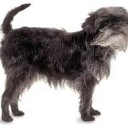 Affenpinscher el el pequeño perro mono aleman