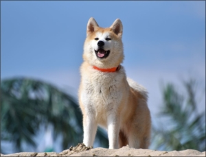 Akita Inu el perro de guerra japones
