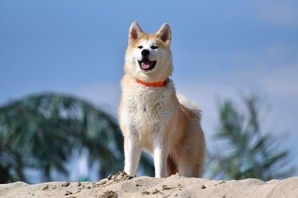 Akita Inu, conoce TODO sobre este mágnifico perro.