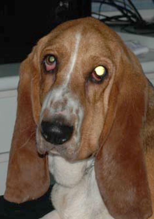 Basset Hound con glaucoma canino