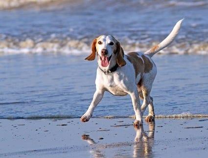 El Beagle un perro muy activo y atlético