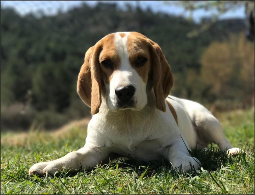 El Beagle un sabueso alegre y tierno