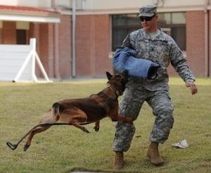 El Pastor Aleman es un perro muy utilizado por fuerzas de seguridad
