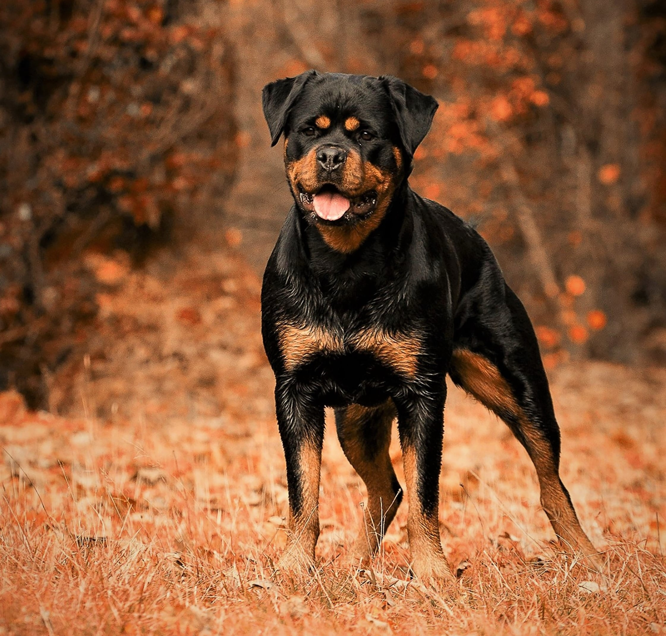 El Rottweiler.