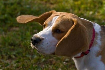 El beagle un maravilloso sabueso