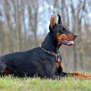 El doberman el leal perro guardia