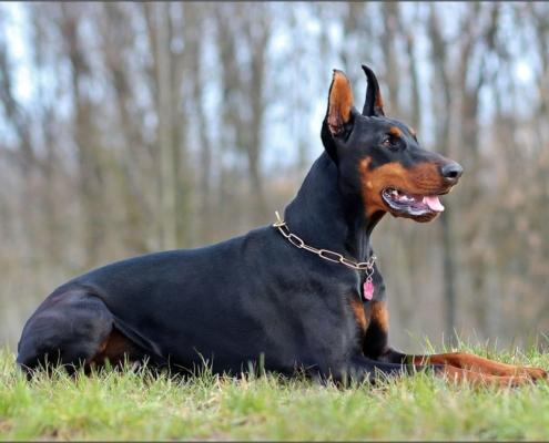 El doberman el perro policia