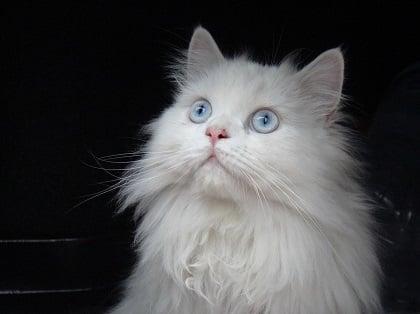 El gato persa es muy cariñoso y presumido