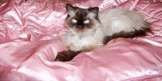 El himalaya, el gatp persa con aspecto de siames
