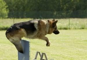 El pastor aleman destaca en pruebas de habilidad agilidad y obediencia