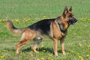 El pastor aleman o German Shepherd un astuto perro guardian