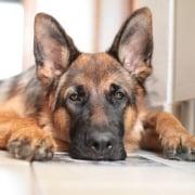 El pastor aleman uno de los perros mas inteligentes del mundo