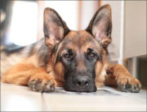 El pastor aleman uno de los perros mas inteligentes del mundoEl pastor aleman uno de los perros mas inteligentes del mundo