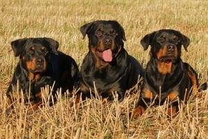 El rottweiler es un perro tipo molosoide