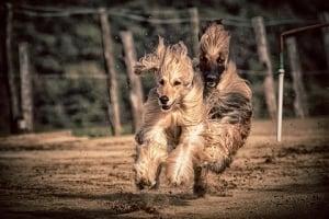 El galgo afgano es un perro muy elegante, aqui lo vemos en plena carrera.