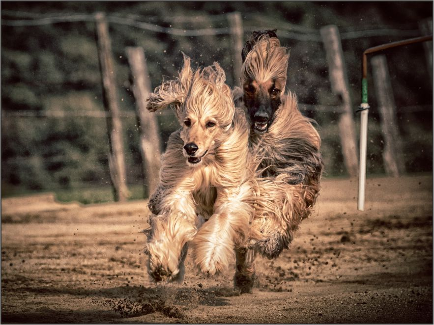 Galgo Afgano corriendo
