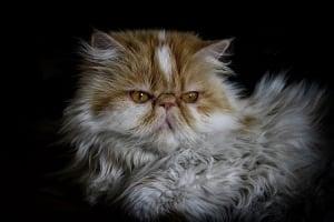 El Gato persa