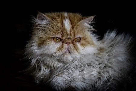 El Gato Persa.