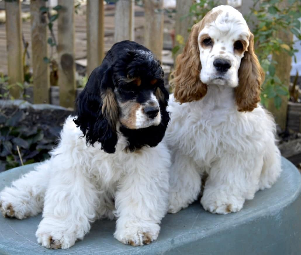 Pareja de American Cocker Spaniel th