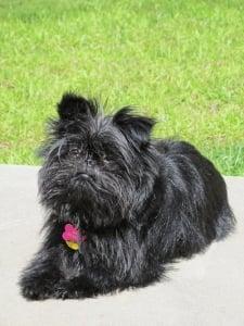 El pequeño Perro Raza Affenpinscher