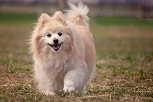 Pomerania Blanco una belleza esponjosa