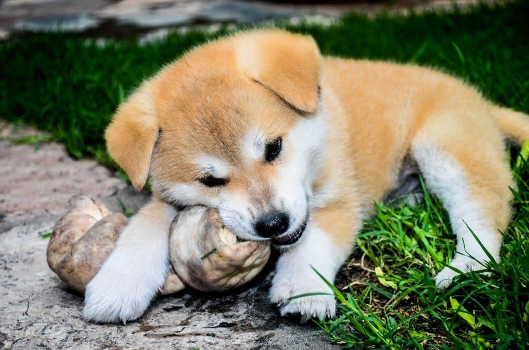 Precioso cachorro de Akita Inu