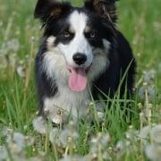 El Border Collie, la raza de perros más inteligente