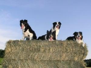 El perro pastor britanico el Collie de la frontera