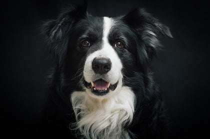 La mirada amigable del border collie