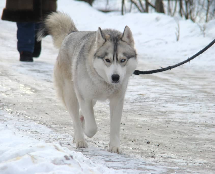 el malamute de Alaska un perro fuerte y leal