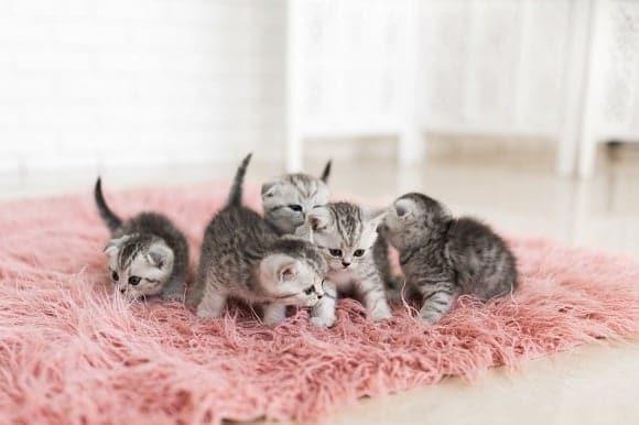 Razas fotos y curiosidades de los Gatos