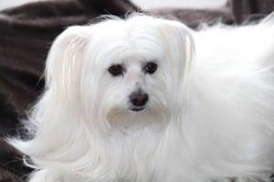Bonito Bichon maltes de pelo blanco