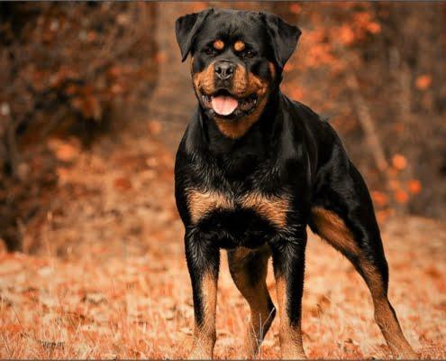 El Rottweiler el tambien llamado perro carnicero