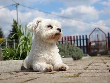 El bichon maltes un perro originario de la zona mediterranea