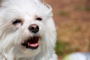 El bichon maltes es muy apreciado como perro de compañia