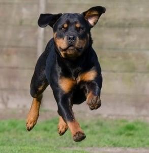 El fuerte y musculoso perro de carniceros