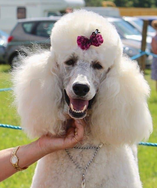 Los Caniche destacan en concursos de belleza