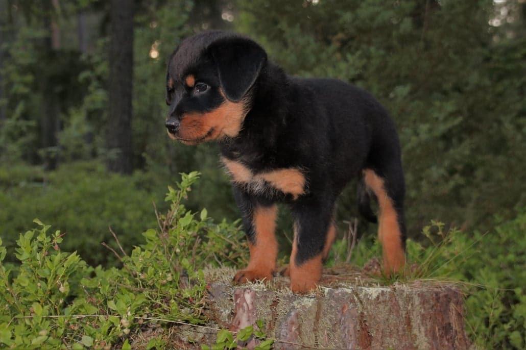 Precioso cachorro de Rottweiler