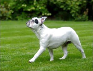el Bulldog Frances