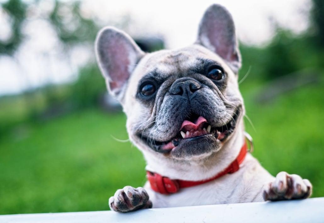 El Bulldog Francés un compañero fiel.