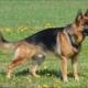 El pastor aleman o German Shepherd