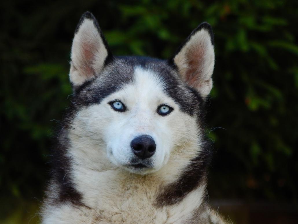 El Husky Siberiano el perro de la nieve