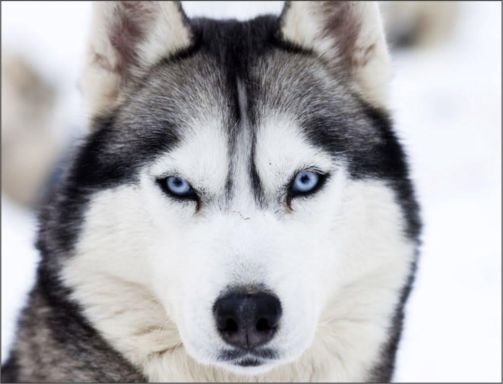 el husky siberiano el heroe de nome