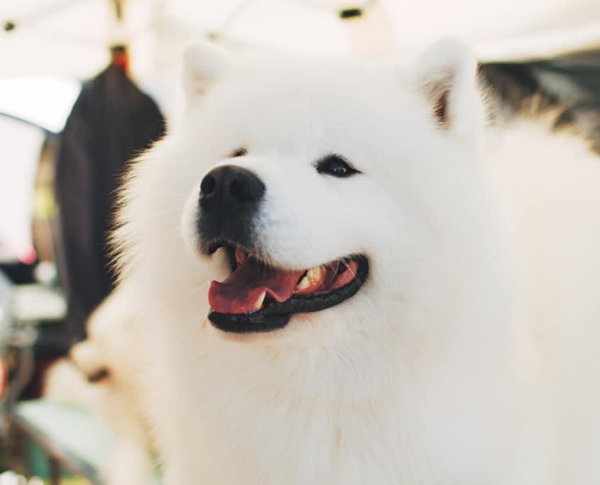 La sonrisa del Samoyedo