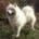 El Samoyedo el perro ruso de las nieves