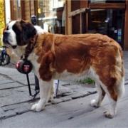El simpático perro San Bernardo