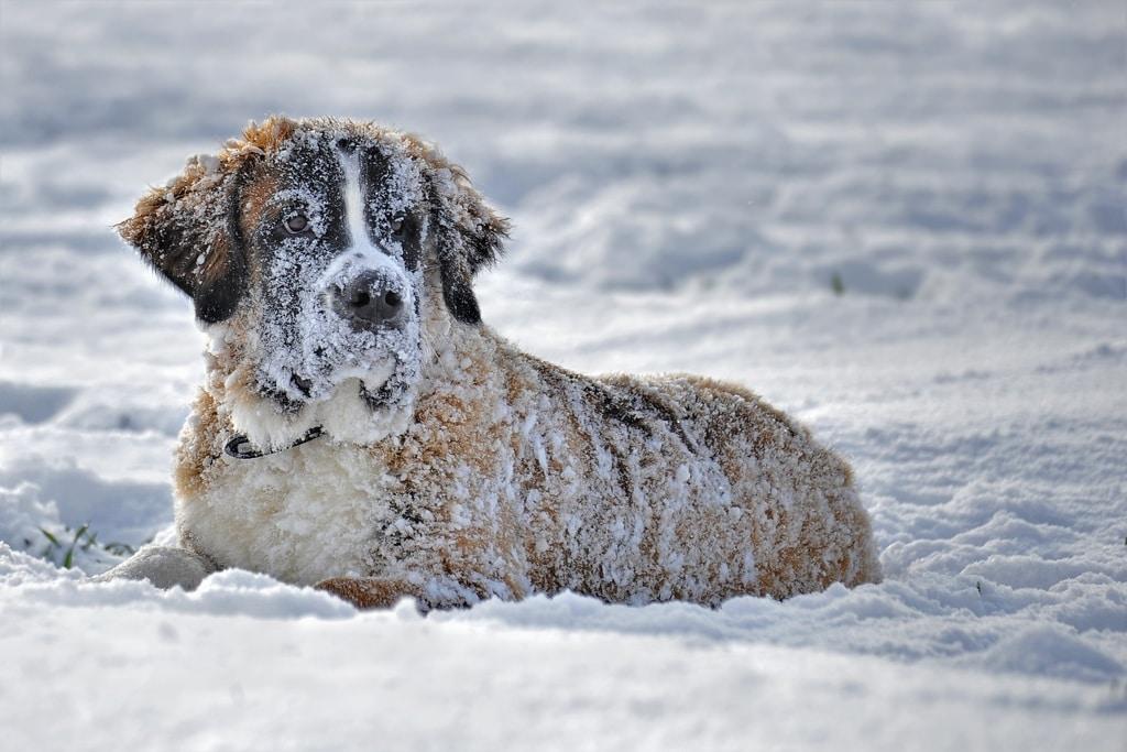 El perro San Bernardo en la nieve