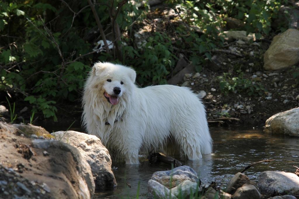 El Samoyedo el perro ruso