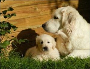 El Golden Retriever es un excelente y amistoso perro