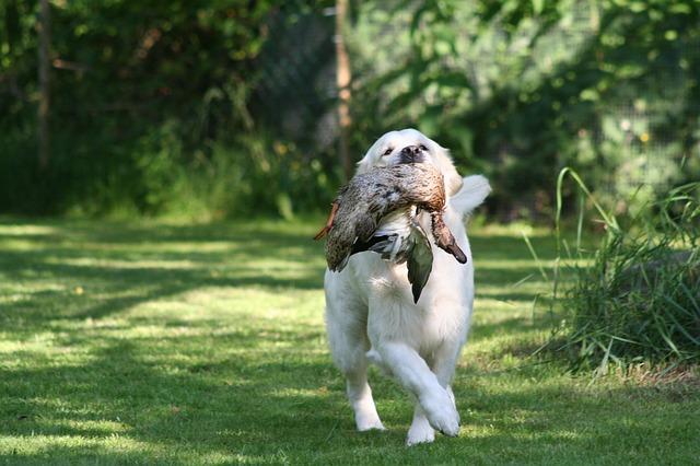 El Golden retriever es un perro perdiguero ideal